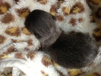 チワワロングブルーの子犬メス、生後2週間画像