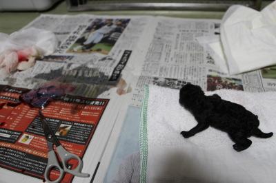 トイプードルシルバー犬の出産(お産)画像