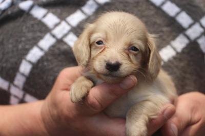 カニンヘンサイズミニチュアダックスピュアクリームの子犬オス、生後1ヶ月過ぎ画像