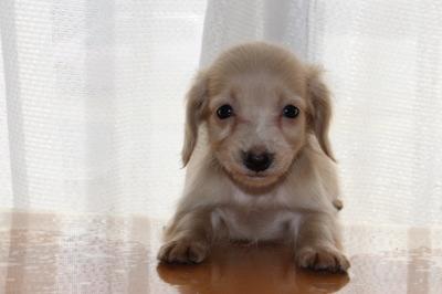 カニンヘンサイズミニチュアダックスピュアクリームの子犬オス、生後45日画像