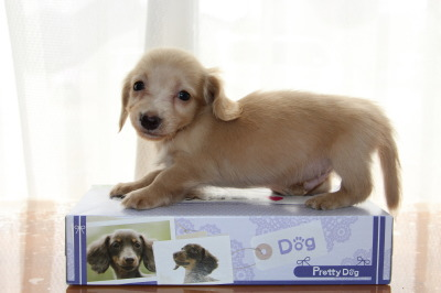 ニンヘンサイズミニチュアダックスピュアクリームの子犬オス、生後45日画像