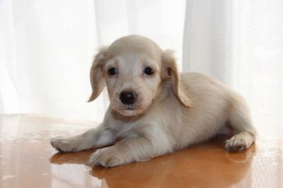 ミニチュアダックスピュアクリームの子犬メス、生後45日画像