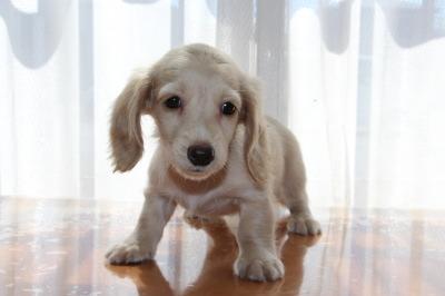 ミニチュアダックスピュアクリームの子犬メス、生後2ヶ月画像