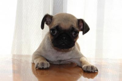 パグフォーンの子犬オス、生後2ヶ月画像