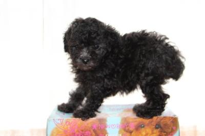 トイプードルシルバー(グレー)の子犬オス2頭メス2頭、生後6週間画像