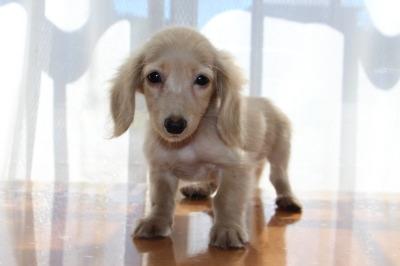 ニンヘンサイズミニチュアダックスピュアクリームの子犬オス、生後3ヶ月画像