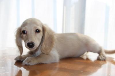 ミニチュアダックスピュアクリームメス、生後3ヶ月画像