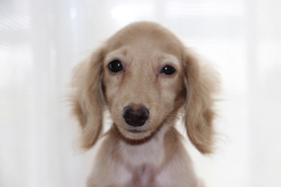 ミニチュアダックス(カニンヘンダックスサイズ)クリームオス、生後4ヶ月画像