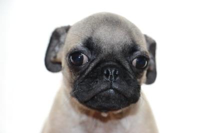 パグフォーンの子犬オス、生後4ヶ月画像