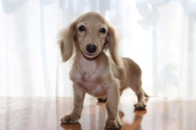 ミニチュアダックス(カニンヘンダックスサイズ)クリームオス、生後5ヶ月画像