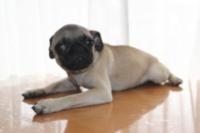 パグフォーンの子犬オス、生後5ヶ月画像