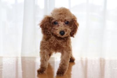 タイニーサイズトイプードルレッドの子犬メス、生後3ヶ月画像