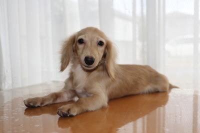 カニンヘンダックスサイズミニチュアダックスクリームの子犬オス、生後半年弱画像