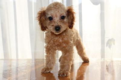 イプードルアプリコットの子犬メス、生後3ヶ月画像