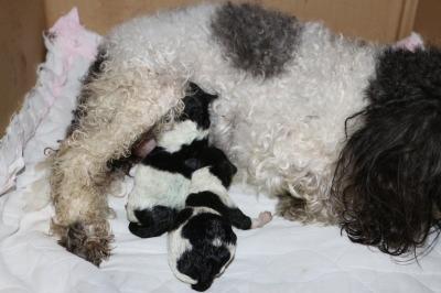トイプードル白黒パーティーの子犬オスメス、産まれたばかり画像
