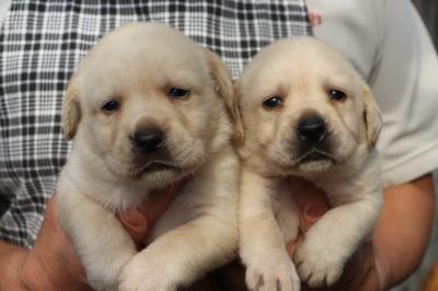 ラブラドールイエロー(クリーム色)の子犬オスメス、生後1ヶ月画像
