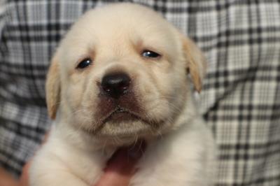 ラブラドールイエロー(クリーム色)の子犬オス、生後1ヶ月画像
