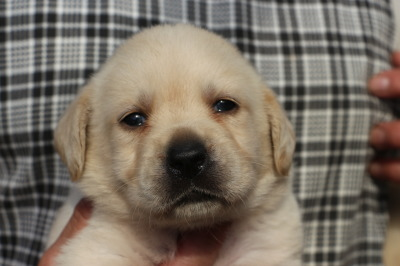 ラブラドールイエロー(クリーム色)の子犬メス、生後1ヶ月画像