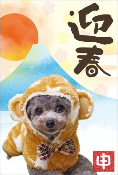 タイニーサイズトイプードルシルバーオス成犬画像