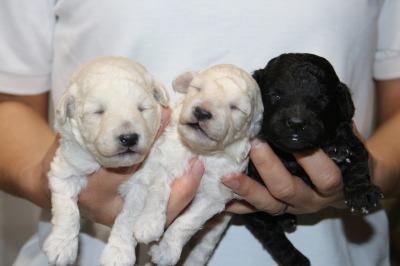 トイプードルホワイト(白色)子犬オス1頭メス1頭、シルバーオス1頭、生後2週間画像