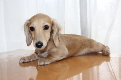 ミニチュアダックスクリームの子犬メス、生後3ヶ月画像