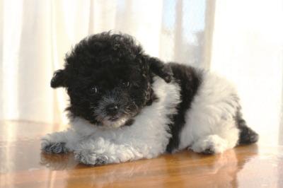 トイプードル白黒パーティーカラーの子犬メス、生後2ヶ月画像