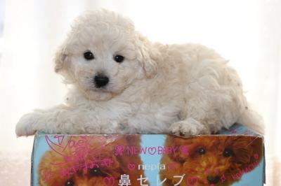 トイプードルホワイト(白色)の子犬オス、生後6週間画像