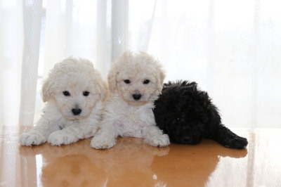 トイプードルホワイト(白色)子犬オス1頭メス1頭、シルバーオス1頭、生後6週間画像