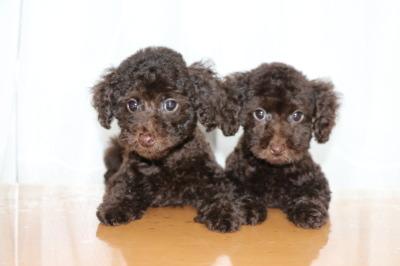 トイプードルブラウンの子犬オスメス、生後2ヶ月画像