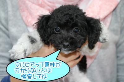 トイプードル白黒パーティーの子犬オス、生後2ヶ月半画像