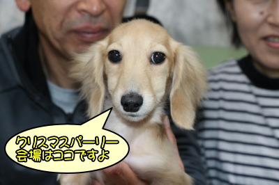 ミニチュアダックスクリームの子犬メス、生後3ヶ月半画像