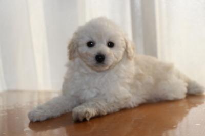 トイプードルホワイト(白色)の子犬オス、生後7週間画像