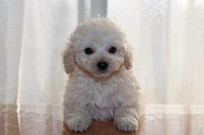 トイプードルホワイト(白色)の子犬メス、生後7週間画像