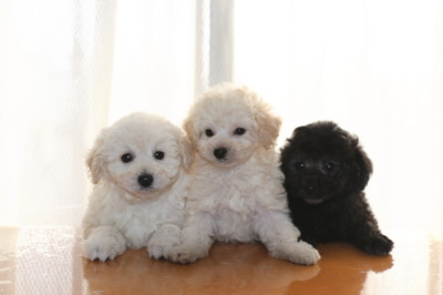 トイプードルホワイト(白色)子犬オス1頭メス1頭、シルバーオス1頭、生後7週間画像