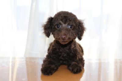 トイプードルブラウン色の濃い子犬オス、生後2ヶ月半画像
