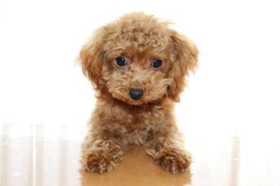ティーカッププードルレッドの子犬オス、生後半年画像