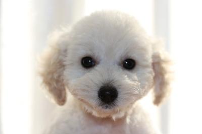 トイプードルホワイト(白色)の子犬オス、生後2ヶ月画像