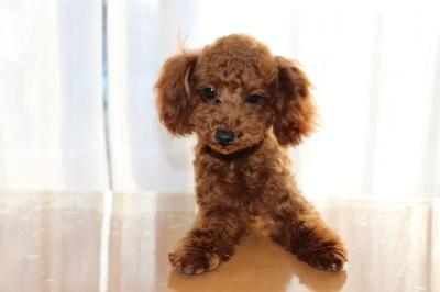 トイプードルレッドの子犬メス、生後6ヶ月画像