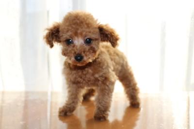 トイプードルレッドの子犬メス、生後2ヶ月画像