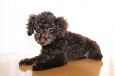 トイプードルブラウンの子犬メス、生後3ヶ月画像