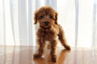 ティーカッププードルレッドの子犬オス、生後3ヶ月画像