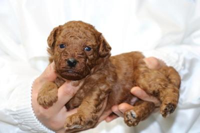 トイプードルレッドの子犬オス、生後3週間画像