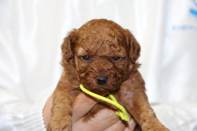 トイプードルレッドの子犬メス、生後3週間画像