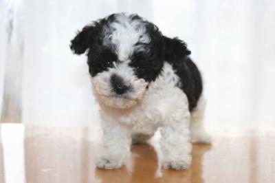 トイプードル白黒パーティーの子犬メス、生後2ヶ月画像