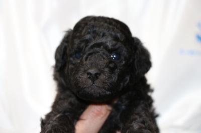 トイプードルシルバー(グレー)の子犬オス、生後4週間画像