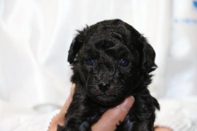 トイプードルシルバー(グレー)の子犬メス、生後4週間画像