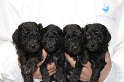 トイプードルシルバー(グレー)の子犬オス1頭メス3頭、生後4週間画像