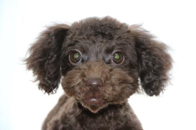 トイプードルブラウンの子犬メス、生後3ヶ月半画像
