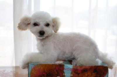 トイプードルホワイト(白色)の子犬メス、生後3ヶ月画像