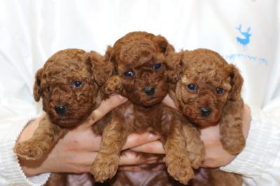 トイプードルレッドの子犬オス1頭メス2頭、生後4週間画像